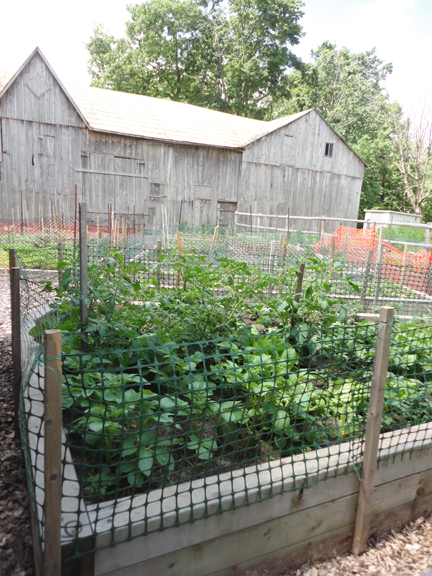The city rents out these community garden plots on the farm!  Veggies and plants were in full swing.  The fencing is there to keep out the Cornell-Campbell ground hog family.