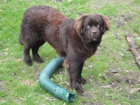 Can Newfoundland Dogs Have Blue Eyes
