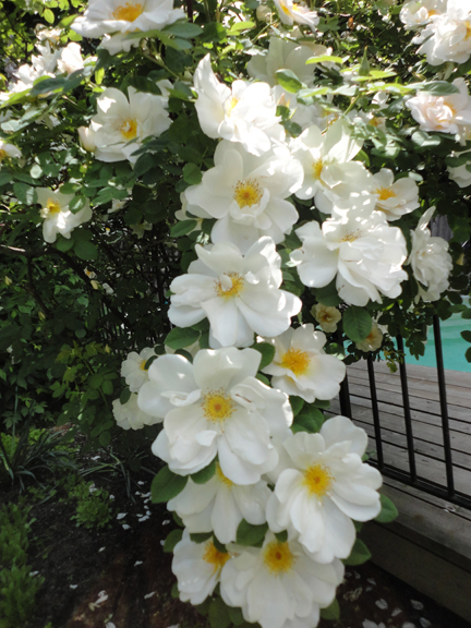 Climbing roses - someone yelled out - Gardenias?, the fragrance of these roses...summer...spectacular madness...makes me want to grow roses...