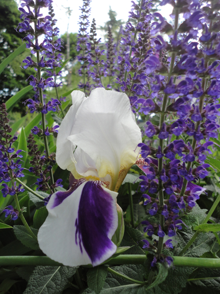 Salvia and bearded Iris.   Like the Harlequin Maple tree, I'd never seen an Iris quite as crazy as this one. Flower power to the max.