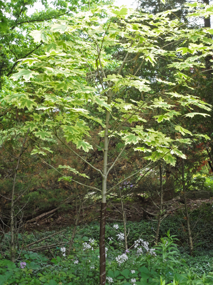 Have you ever seen a Harlequin Maple tree? This was a first for me.