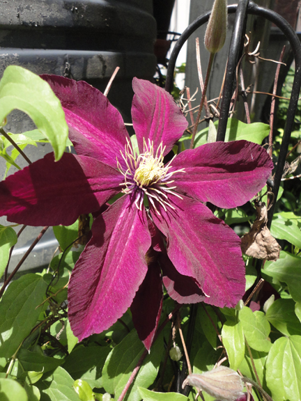 Clematis were in full bloom in the gardens I saw. This one was found in a Whitby garden.