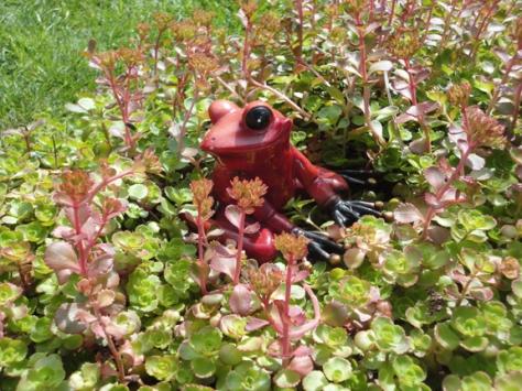 Sedum Frog!