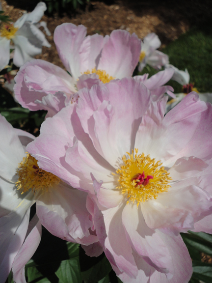 The peonies were blazing in the gardens of homeowners that participated in the 15th Annual Artists in the Garden Tour.