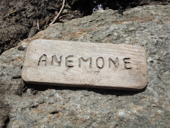 SignAnemone