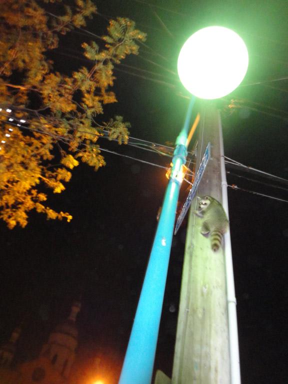 Racoon Longbranch Aug 8
