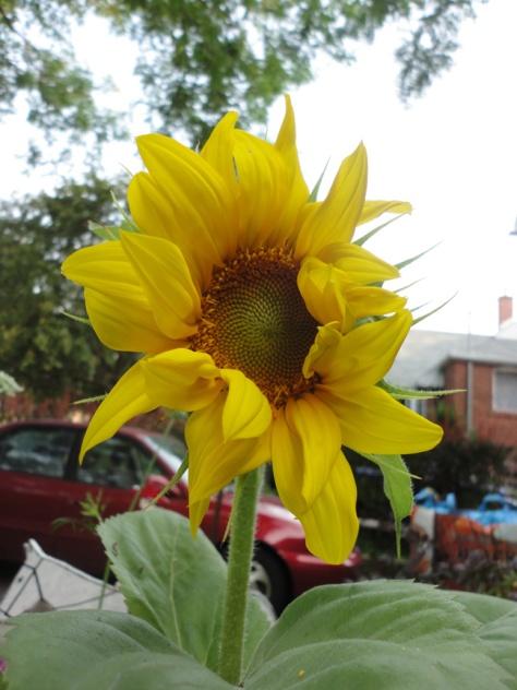 Sunflower Aug 2 2014