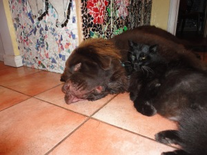 George in Cat therapy session with Shadow.   7:30 am . By 8:30pm tonight, all hell will break loose as the puppy brain takes over our house.