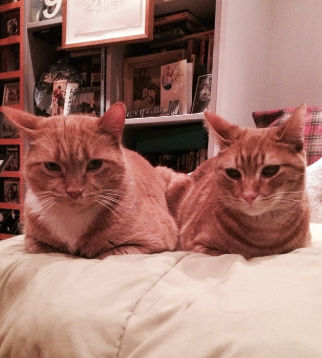 Jacuqes and Jack Shadbolt, who have been renamed Jerk and Jerklie  (if cats have teenage years - these two are full tilt boogie teenagers!