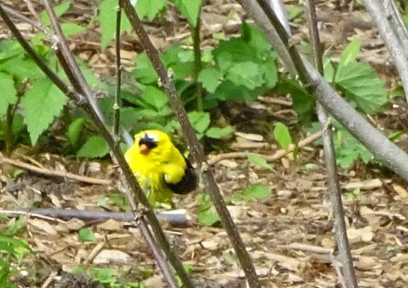 Goldfinch attracted by the sprinkler, perches on a rose of sharon.