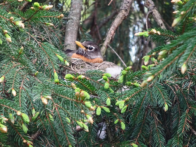Mrs. Robin nesting in our giant Norway Spruce.