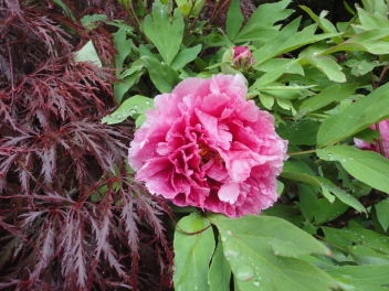 Japanese Maple and Peony