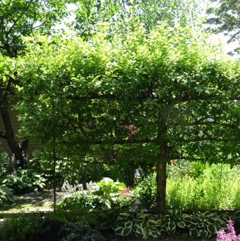 Espalier Tree in back garden of Buffalo West village home