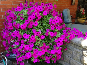 Monster sized Petunias in the West Village Buffalo