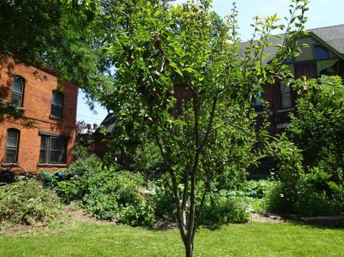 The Tree of Life! Pear Tree in the Prospect Community Garden -92 Trinity Place Buffalo