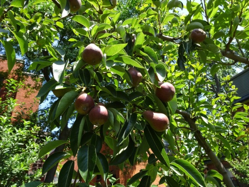Pear Tree in the Prospect Community Garden Buffalo July 2015