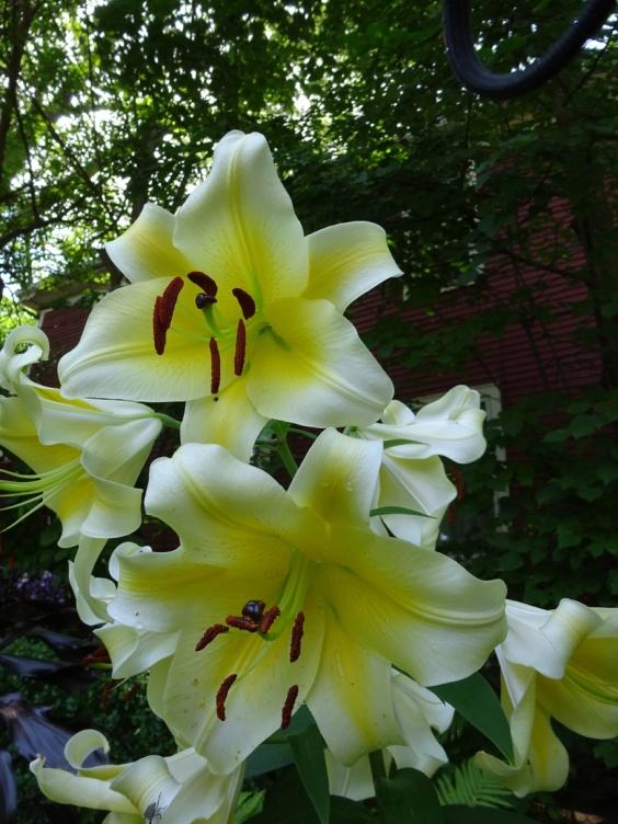 Yellow Lilies in the West Utica Community Garden - Garden Walk Buffalo