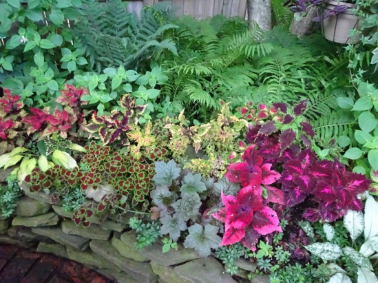 Zillions of Coleus in Buffalo