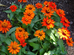 Zinnia Patch in Buffalo July 26