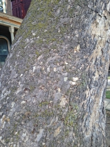 The oldest tree in Buffalo - a sycamore