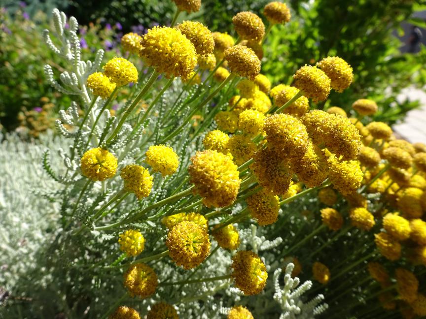 Front garden yellow flower tops