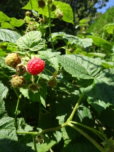 Niagara Rasberries