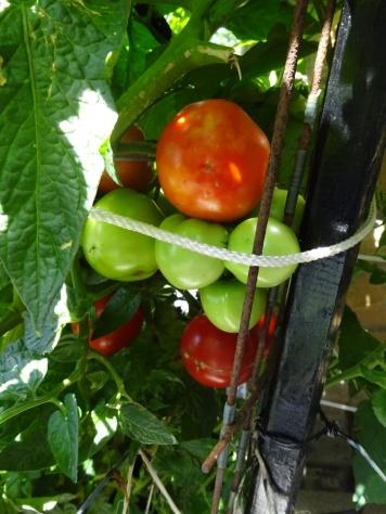 Tomatoes Community Garden Buffalo