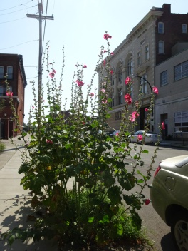 Sidewalk Hollyhocks