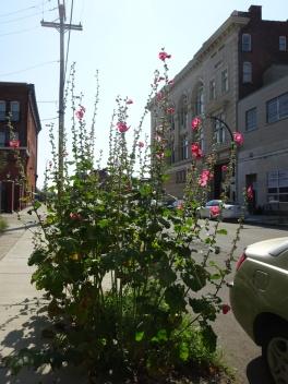 Sidewalk Hollyhocks