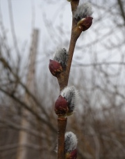 European pussy willow