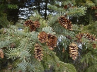 White spruce with open cones