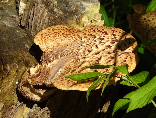 dryad's saddle.jpg