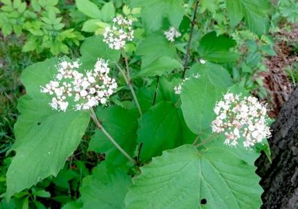 Maple leaved viburnum