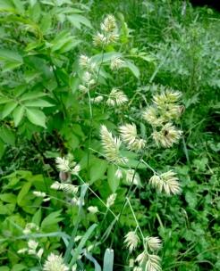 Mountain rice grass