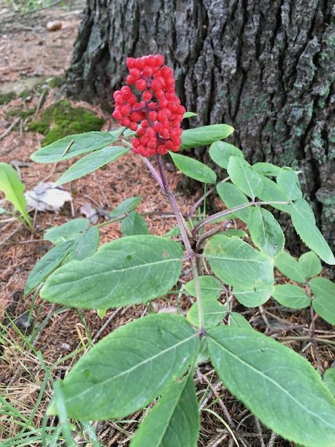 red-berried elder.jpg