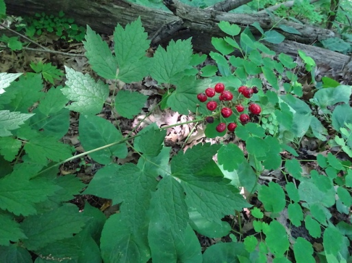 Baneberry or Doll's eyes