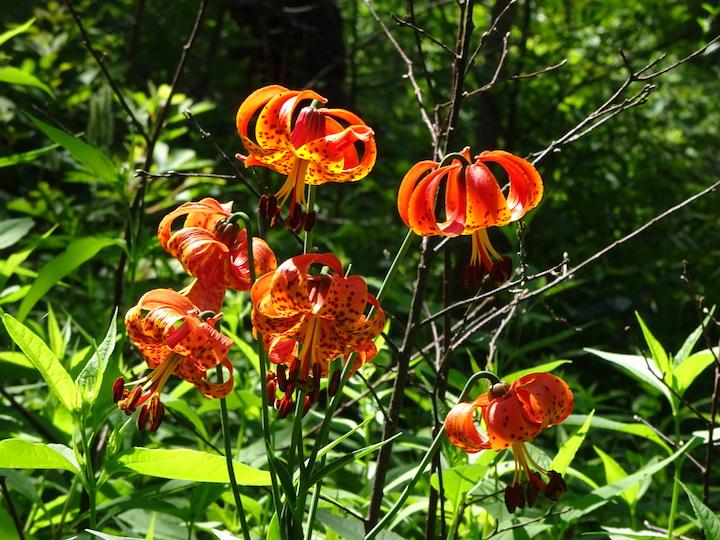Michigan Lily or Turks Cap Lily.jpg