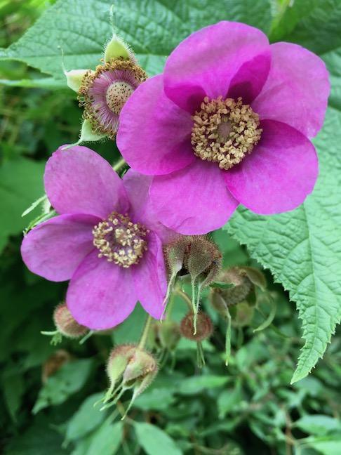 purple flowering raspberries.jpg
