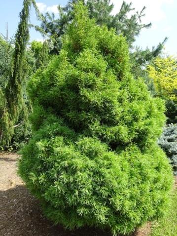 Pinus Strobus Tiny Curls pine tree