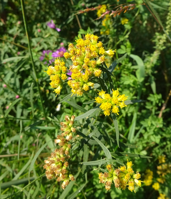 grass leaved goldenrod.jpg