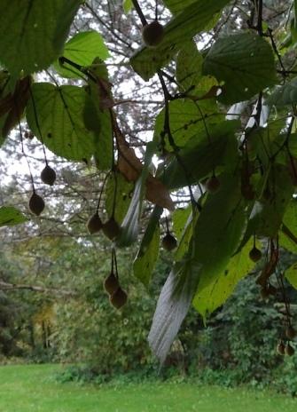 European lindon fruit