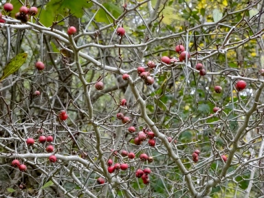 Hawthorn berries or Haws