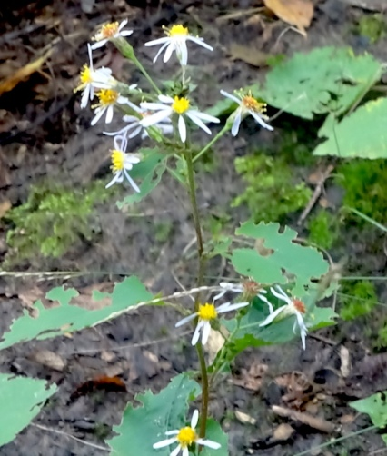 large leaved aster