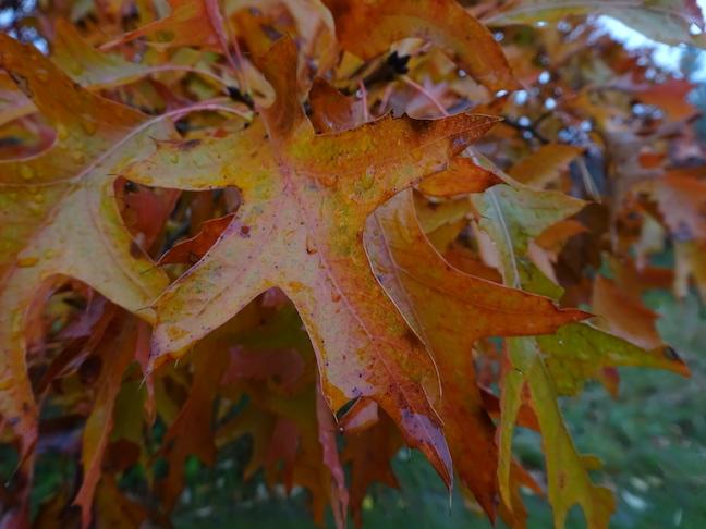 pin oak.jpg