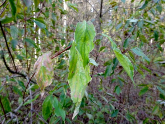 Silky dogwood