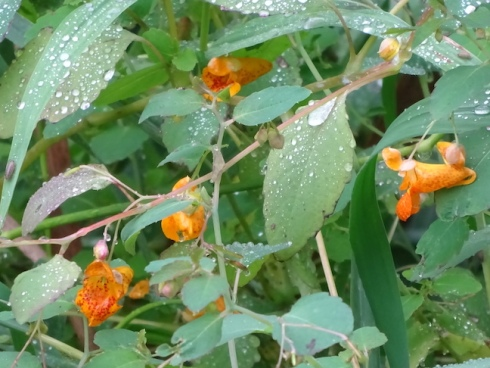 Spotted jewelweed or touch-me-not