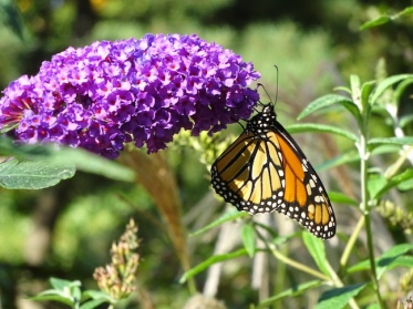 butterfly-bush1
