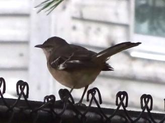 mockingbird