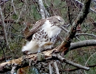 red-tail1