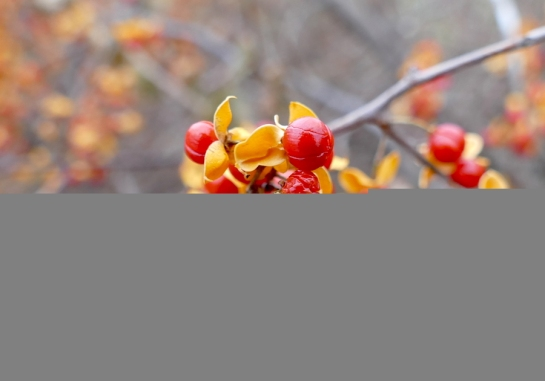 spindle-tree